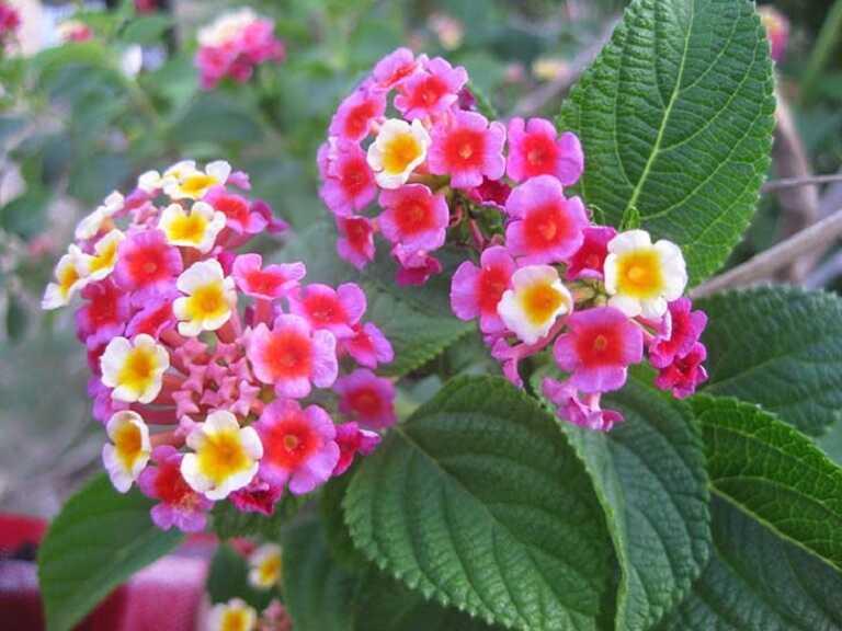 Hoa ngũ sắc là vị thuốc quen thuộc trong các bài thuốc trị viêm xoang