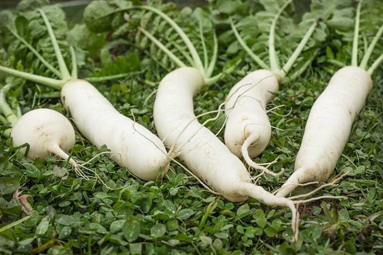 Người bệnh có thể sử dụng củ cải trắng để cải thiện triệu chứng bệnh