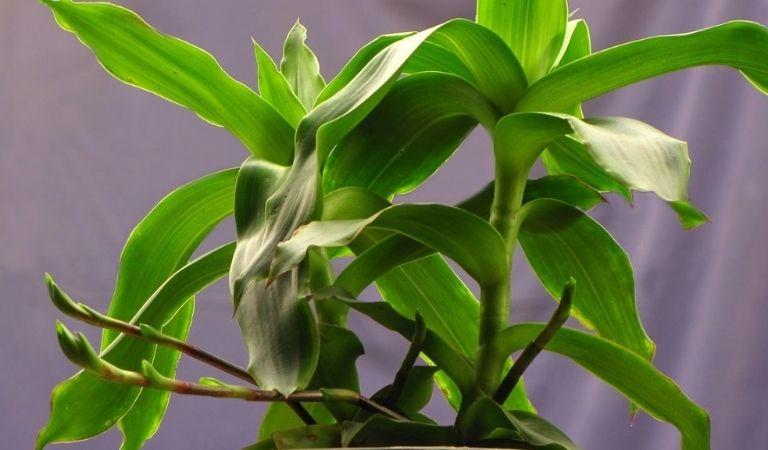 Cải thiện bệnh viêm amidan bằng cây lược vàng