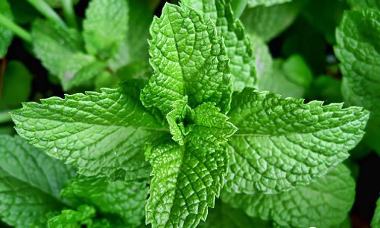 Bạc hà - thảo dược thiên nhiên chữa ho khó thở