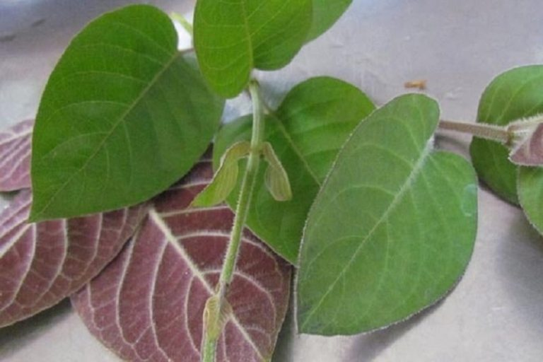 Lá mơ là một loại cây thuộc họ thiên thảo, có chứa nhiều hoạt chất hữu cơ rất tốt cho sức khỏe như paederin, tinh dầu sulfur dimethyl disulphit