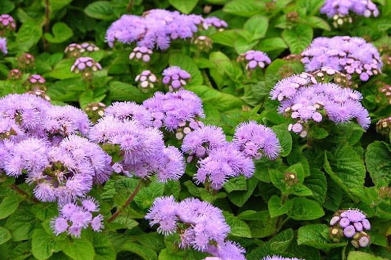Thảo dược chữa viêm xoang từ cây hoa ngũ sắc (hoa cứt lợn)