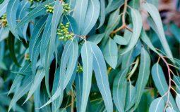 Lá bạch đàn là một thảo dược tự nhiên được dùng nhiều trong bài thuốc Đông y trị bệnh về hô hấp