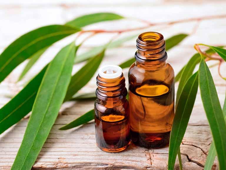 Sử dụng tinh dầu bạch đàn thay thế cho bạch đàn tươi khi kết hợp với bạc hà trị bệnh