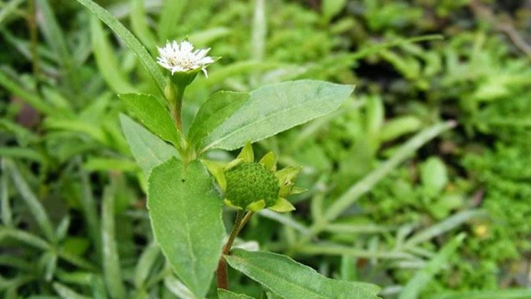 Cây cỏ mực chữa bệnh hiệu quả