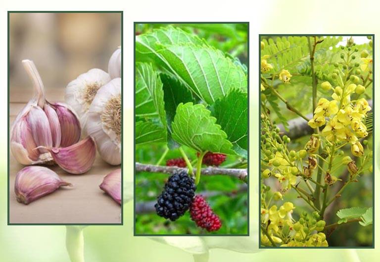 Tỏi, tang diệp và tô mộc là những thảo dược chứa kháng sinh tự nhiên được sử dụng từ nhiều thế kỷ trước