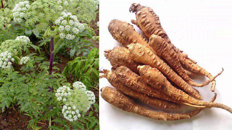 Rễ và hoa cây bạch chỉ đều có thể sử dụng làm thuốc