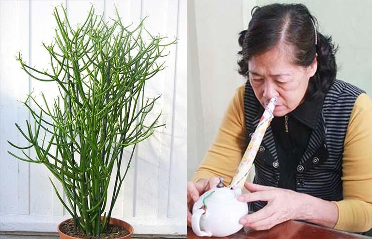 Xông hơi bằng cây giao là biện pháp chữa viêm xoang mãn tính bằng thuốc Nam hiệu quả